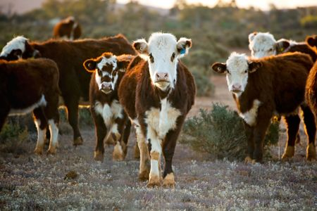 australia farm: Cattle grazing in desert pasture.  Outback New South Wales, Australia, at sunset.