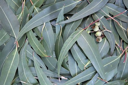eucalyptus tree: Eucalyptus leaves and gumnuts form a full-frame background. Stock Photo