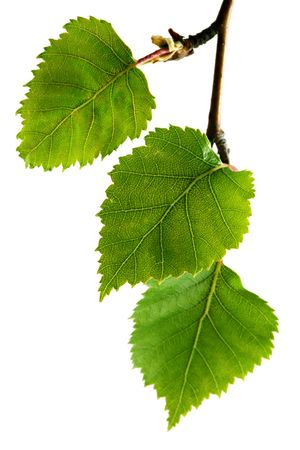 Silver birch leaves, isolated on white.  Focus on middle leaf. Shot with Canon 5D MkII and macro lens. photo