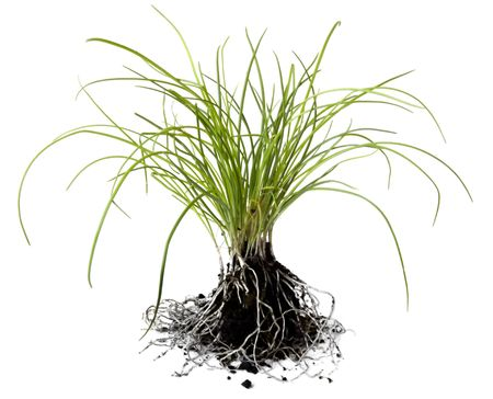 chive: Chive seedlings, isolated on white, with loose roots and soil.