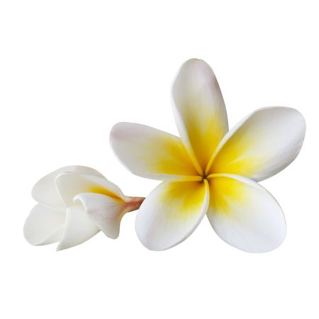 Plumeria or frangipani flower and bud, isolated on white.  Clipping path included.