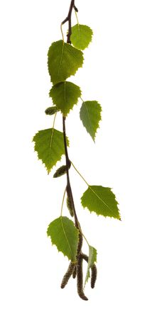 Silver birch leaves, backlit by sunlight, isolated on white. photo