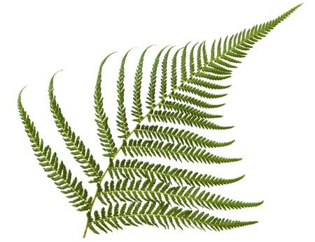 엽상체: Fresh fern frond, isolated over white.
