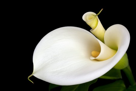White calla lilies, over black background, in soft focus. Archivio Fotografico