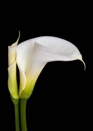 soft focus: Blancos alcatraces, sobre fondo negro, en foco suave.