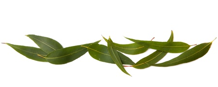 EUCALYPTUS: Border of gum leaves, isolated on white with soft shadow.