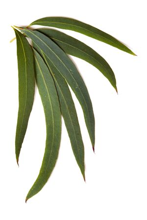 eucalyptus tree: Gum leaves isolated on a white background.  These are the delicate leaves of the eucalyptus nicolaii.