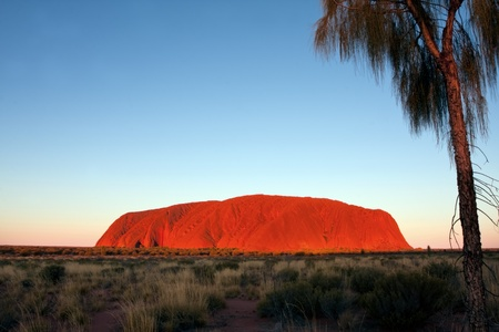 Uluru, Australia - May 11, 2008:  Uluru or Ayers Rock, Central Australia, at sunset.  Desert oak in the foreground.  This icon is the largest monolith in the world, and glows a stunning red at sunset and sunrise.