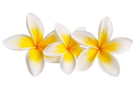 Three plumeria or frangipani flowers, isolated on white.  Clipping path included.