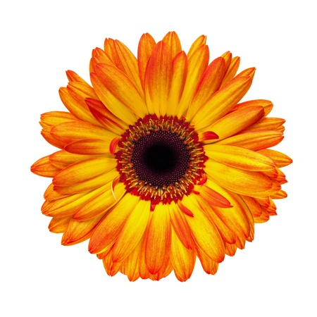 Brilliant orange gerbera daisy, isolated on white. Stock Photo