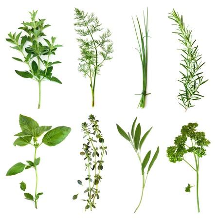 cebollin: Hierbas colección, aislado en blanco. Incluye el orégano, eneldo, cebollino, romero, albahaca, tomillo, salvia y el perejil rizado.