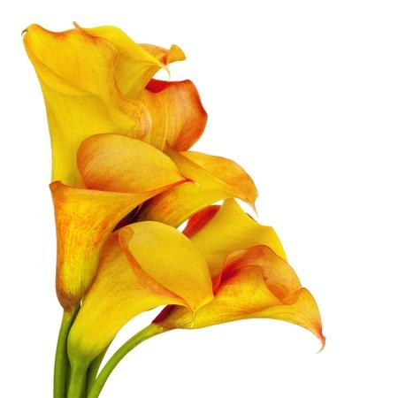 fleur arum: Vibrant jaunes et rouges, les lis calla sur fond blanc. Banque d'images