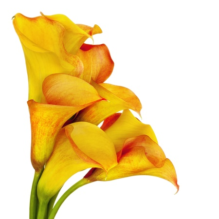 lilies: Vibrant yellow and red calla lilies, over white background.