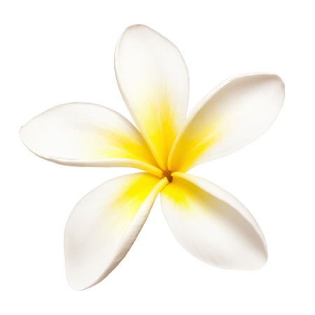 Single frangipani or plumeria flower, isolated on white. photo