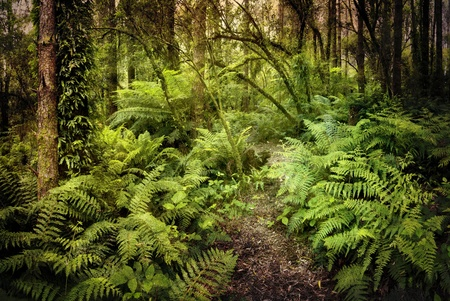 australian landscape: Lush ferny rainforest, with path winding through it.  Grungy textures applied to give a mysterious air.