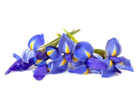 Iris di cui su uno sfondo bianco