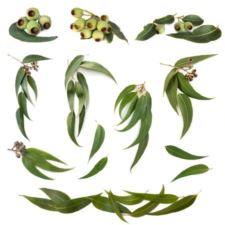 Raccolta di foglie di eucalipto e frutta a guscio di gomma, isolato su bianco.