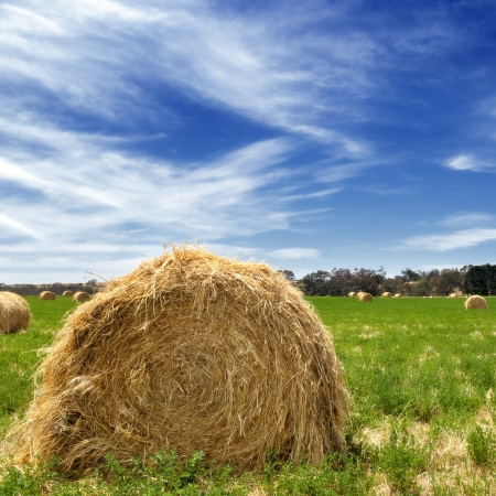Hay bales in a lush field, with bright blue sky. photo