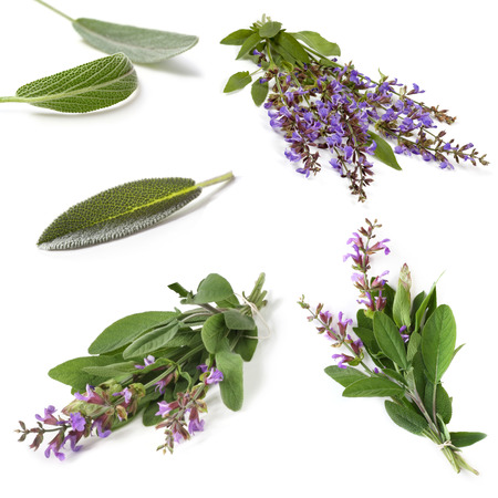 blooming  purple: Sage collection, isolated on white.  Fresh herbs, leaves and sprigs, with purple flowers.