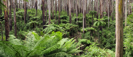 ranges: Rainforest panorama.  Mountain ash with tree ferns, Yarra Ranges National Park, Victoria, Australia. Stock Photo
