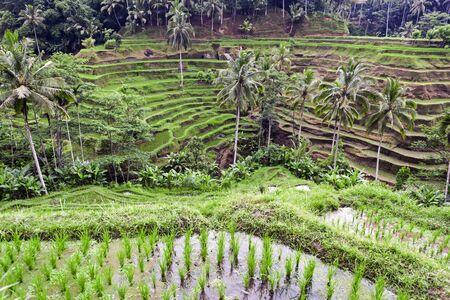 tegalalang: Tegalalang rice terrace, near Ubud, Bali, Indonesia.