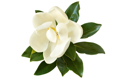 magnolia: Little Gem magnolia.  Dwarf variety of Magnolia Grandiflora. Also called Evergreen, Bull Bay, Laurel and Loblolly. Close up image of flower with leaves isolated on white background.