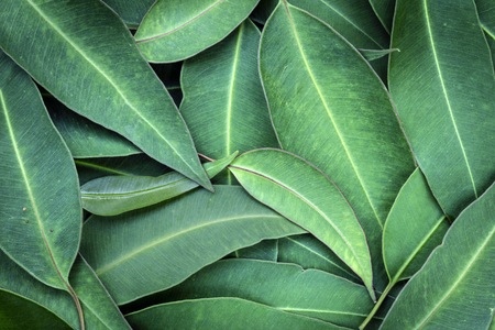 Eucalyptus leaves full frame background, top view. Large file. Фото со стока - 70521745