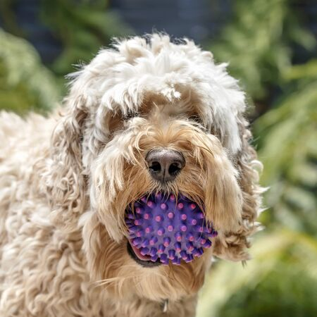 Shaggy cockapoo or spoodle dog with ball.  Mix of poodle and cocker.  Portrait with blurred background. Stock Photo