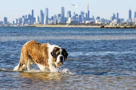 St Bernard dog splashing at the beach.  Skyline of Melbourne, Australia behind, viewed from Brighton Dog Beach. Stock Photo