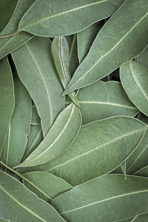 Eucalyptus leaves full frame background, top view. Large file.