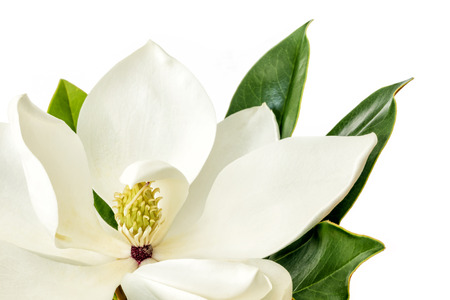 southern: Single Magnolia flower over white background.  Little Gem dwarf variety of magnolia grandiflora.