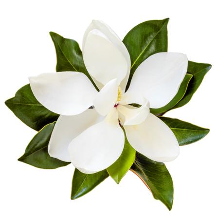 enano: Magnolia flor, vista superior, aislado en blanco. Enano variedad de magnolia grandiflora, Little Gem.