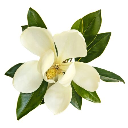 Flor de Magnolia, vista desde arriba, aislado en blanco. Little Gem variedad perenne.