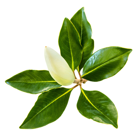 Magnolia flower bud and leaves, isolated on white.  Little gem dwarf evergreen variety.