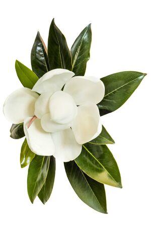 Little Gem magnolia. Variété naine de Magnolia grandiflora. Aussi appelé Evergreen, Bull Bay, Laurel et Loblolly. Gros plan image de fleur avec des feuilles isolées sur fond blanc. Banque d'images