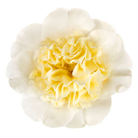 Yellow camellia flower isolated on white.  Top view. Stockfoto