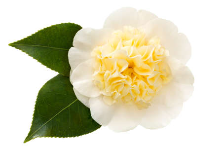 Yellow camellia flower with leaves isolated on white.  Williamsii Jury's Yellow.