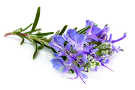 Rosemary with flowers isolated on white.