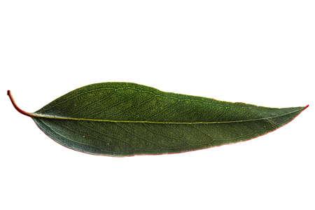 Eucalyptus leaf, backlit, isolated on white. Stockfoto