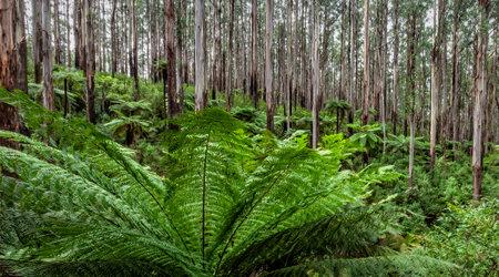 Australian temperate rainforest.  Mountain ash trees and tree ferns. Stockfoto