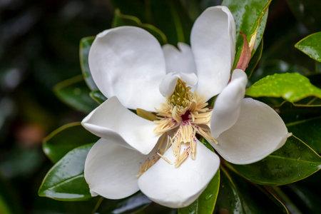 White magnolia flower after rain.