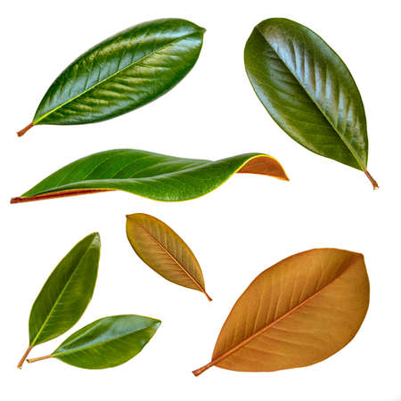 Magnolia leaves isolated on white.  Collection with front, rear and side views