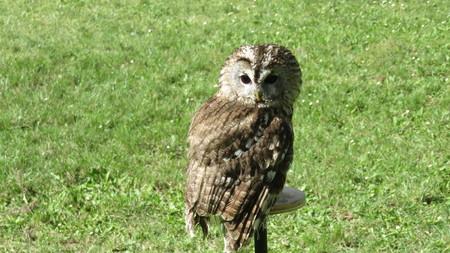 tawny: tawny owl trained