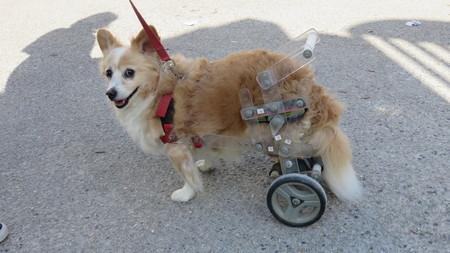 Chien handicapé Banque d'images - 72520010