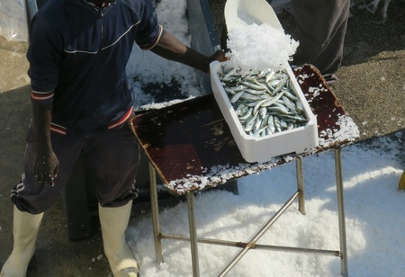 overfishing: arrival of the fish in the harbor