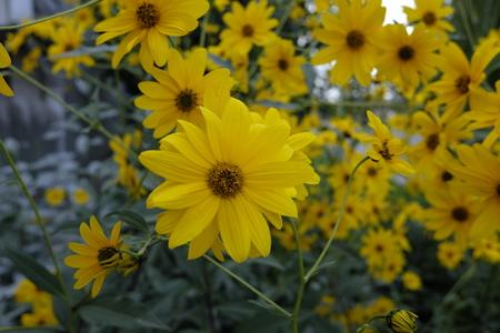 helianthus: Yellow flower close up