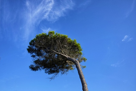 pine isolated bent by the wind Stock Photo