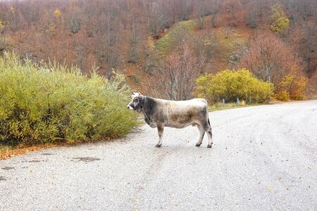cow in the mountain road