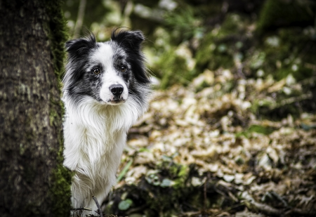 Portrait of a border collie Stock Photo - 17438556