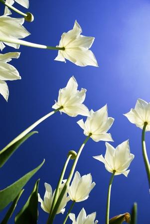 knospe: Tulpen von unten